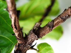 检测毒品小树枝中的合成大麻素